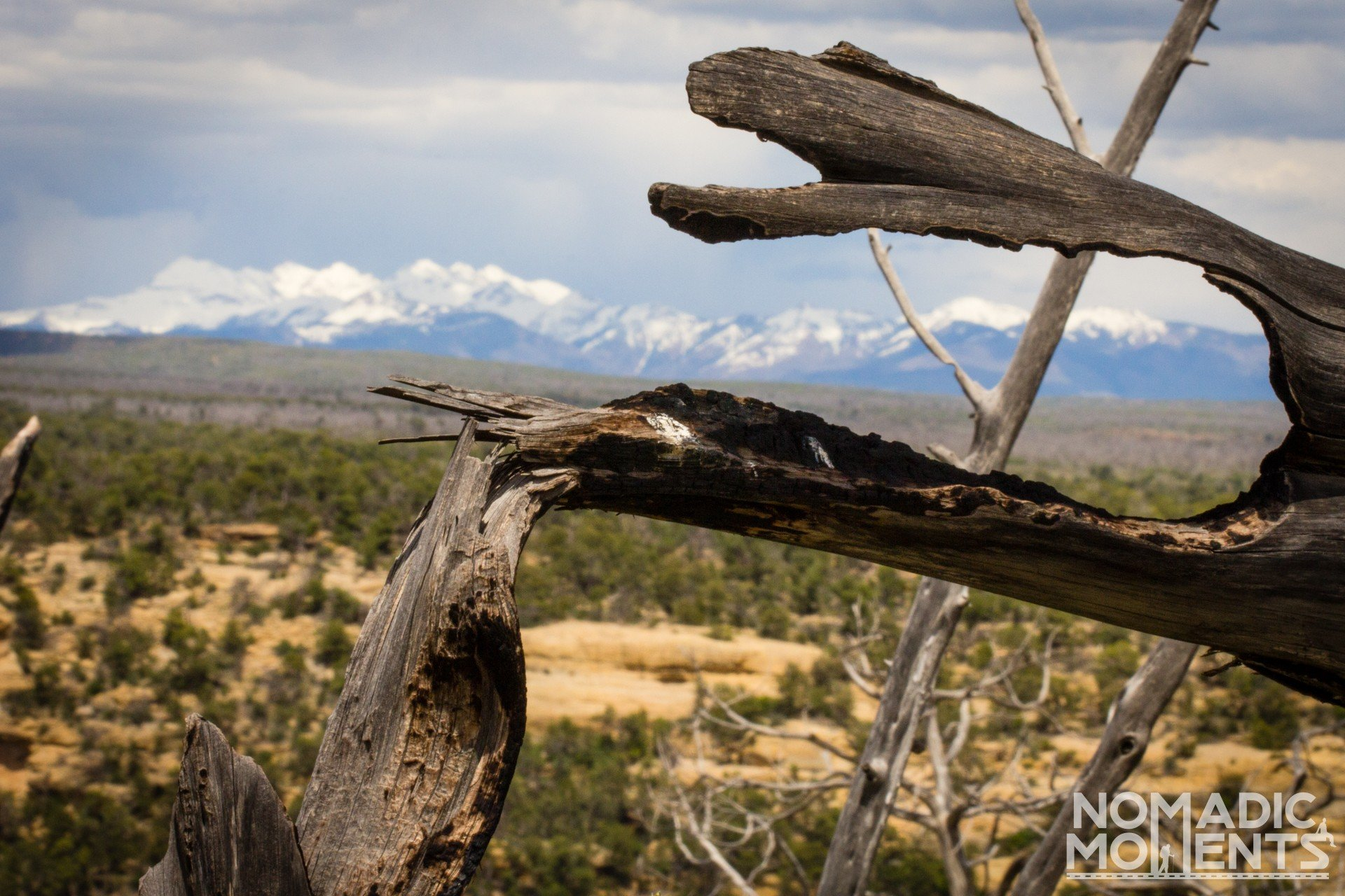 A broken tree with the snowcapped Mesa Mountains