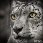Snow Cat Eyes