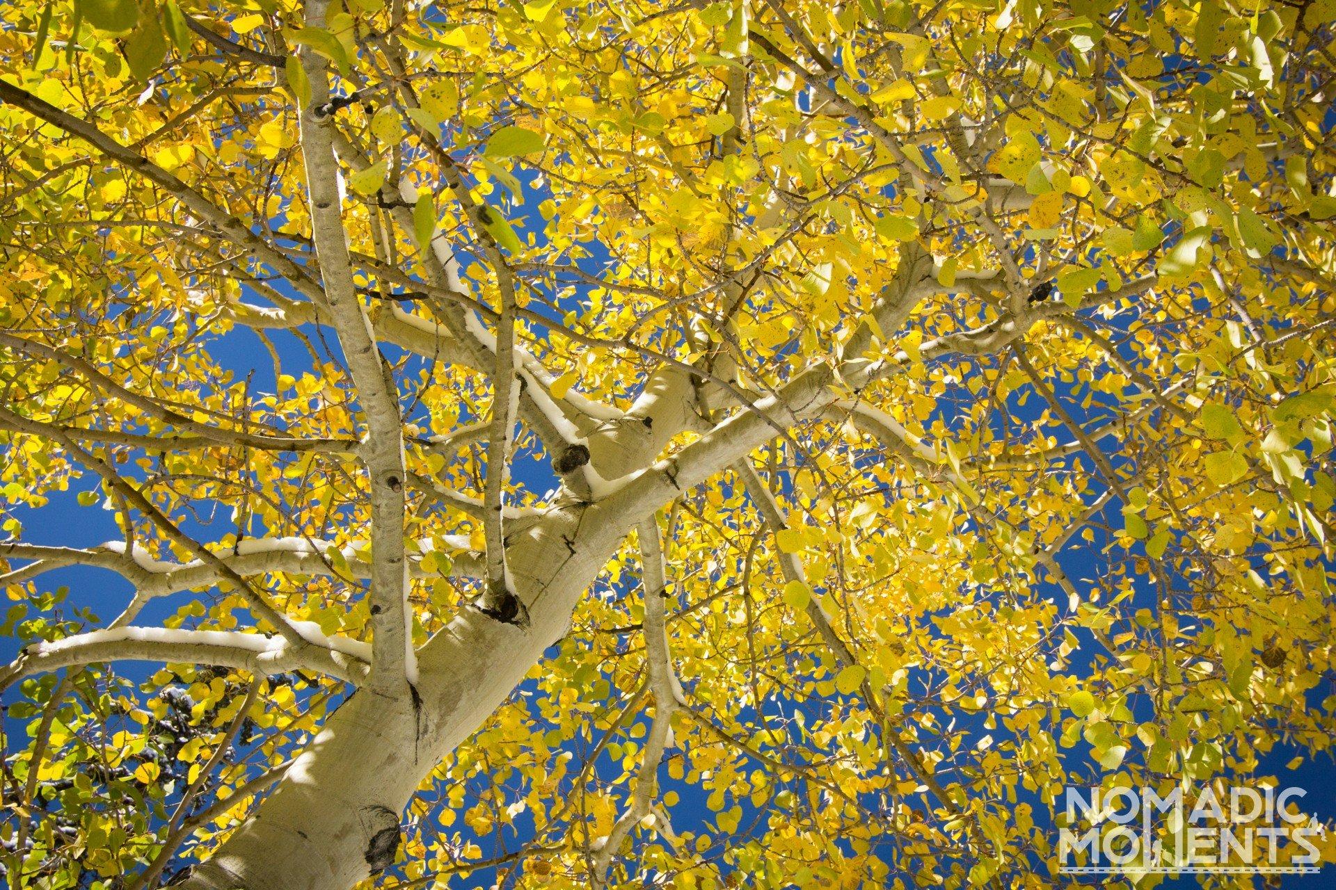 Yellow Aspen Tree