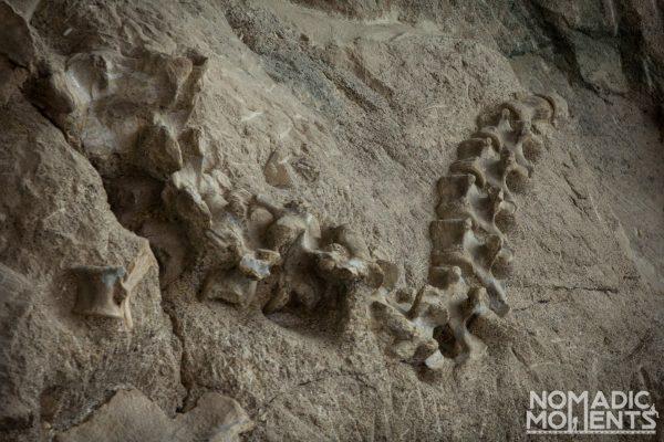 Dinosaur Vertebrae