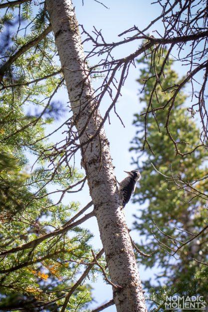 Eaglesmere - Surprise Lake Loop woodpecker.
