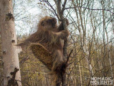A large porcupine.