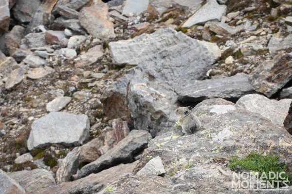 A pika blends into its natural environment.