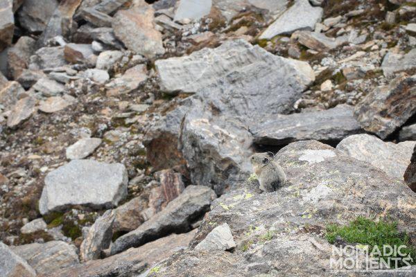 A pika blends into its natural environment.
