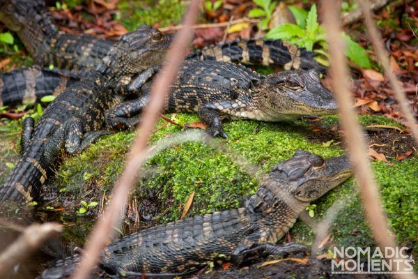 A group of baby Alligators on mossy soil inside the Savannas Recreation Area
