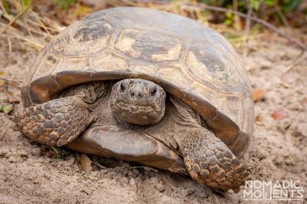 A Gopher Tortoise found inside the Savannas Recreation Area