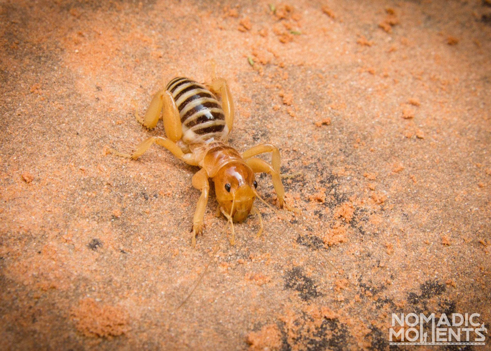 A Jerusalem Cricket