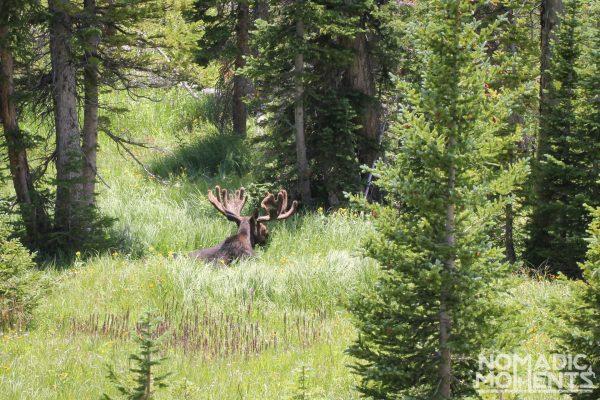 A Bull Moose