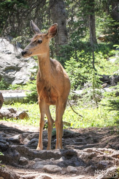 A deer on the path to Bluebird Lake.