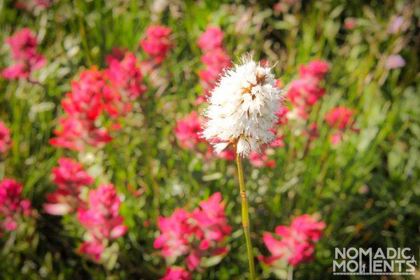 Wildflowers near the Upper Ouzel Campsite.