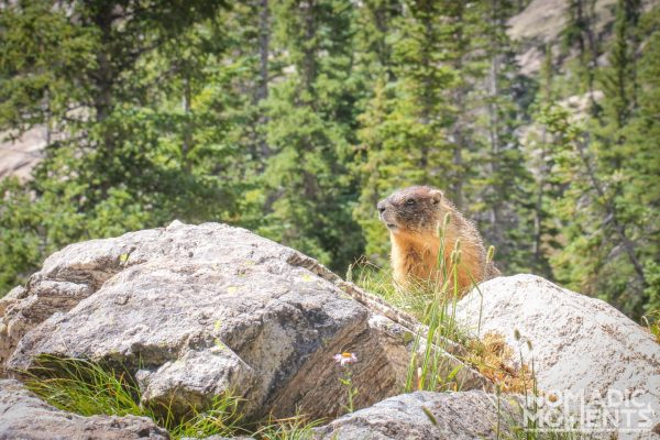 Marmot at the Upper Ouzel Camping spot.
