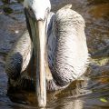 A Brown Pelican.