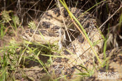 Silver Creek Rattle Snake