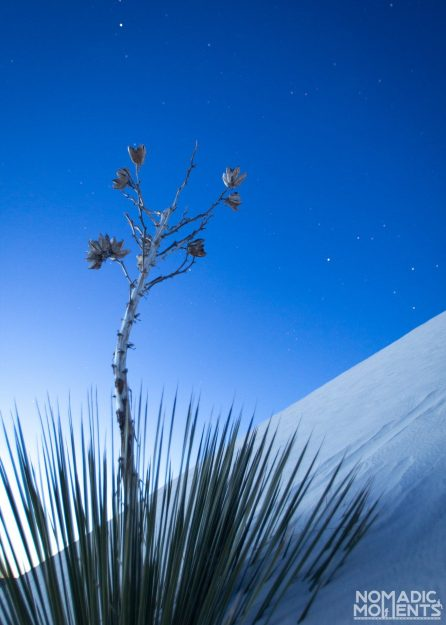 Yucca in White Sands National Park