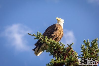 Jasper Bald Eagle