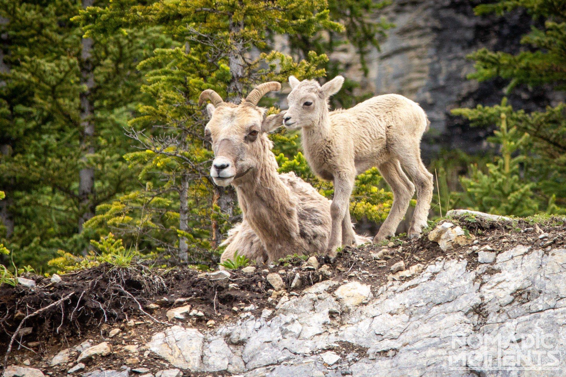 Bighorn Sheep Calf