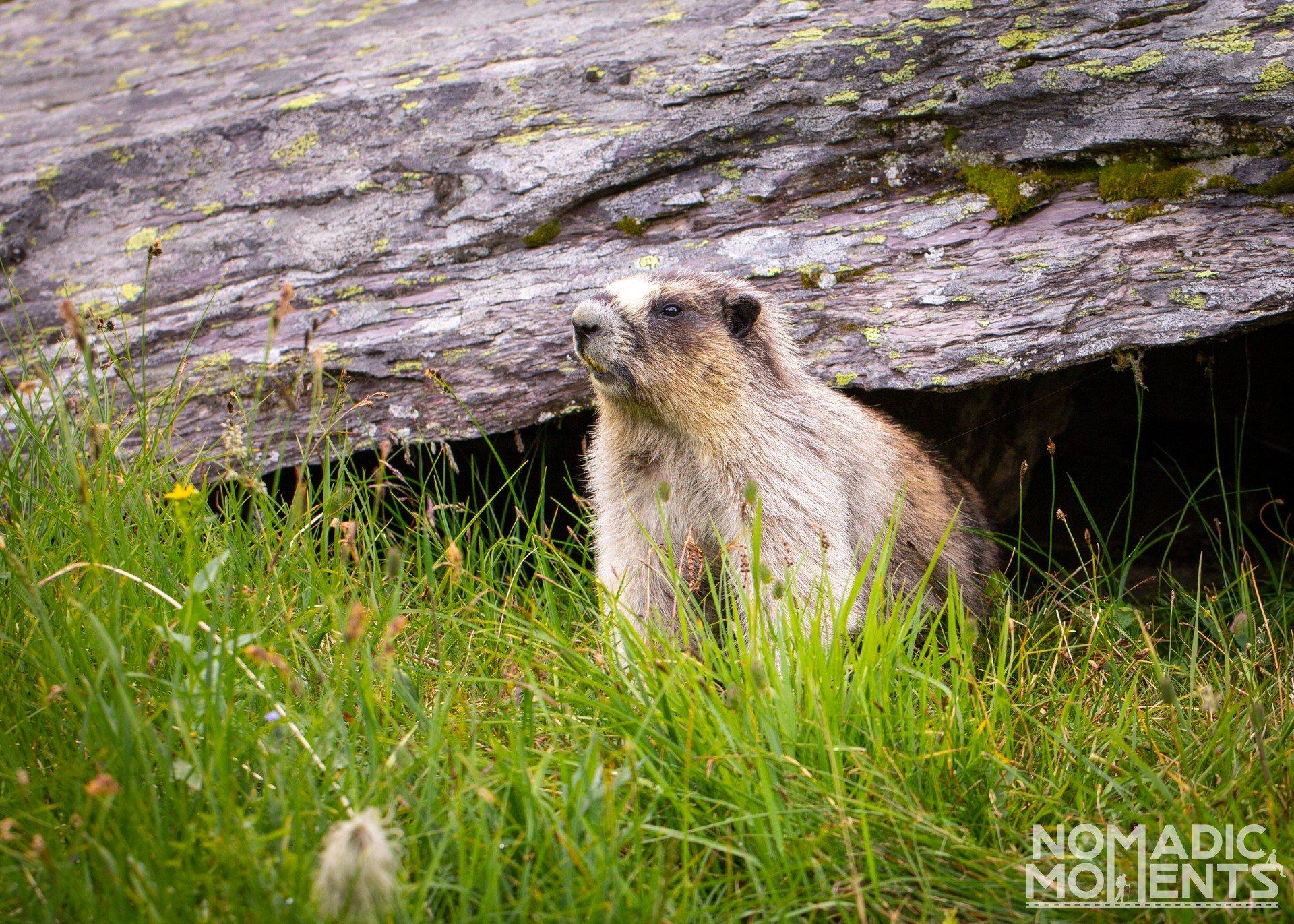Hoary Marmot Home