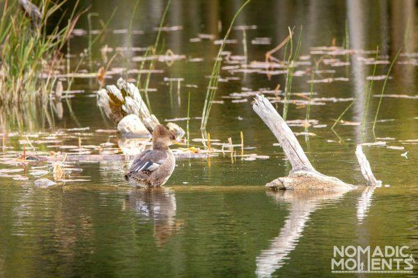 Maxwell Lake Duck