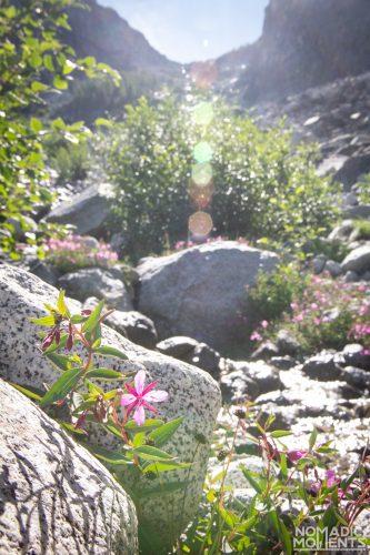 Aasgard Pass Flower