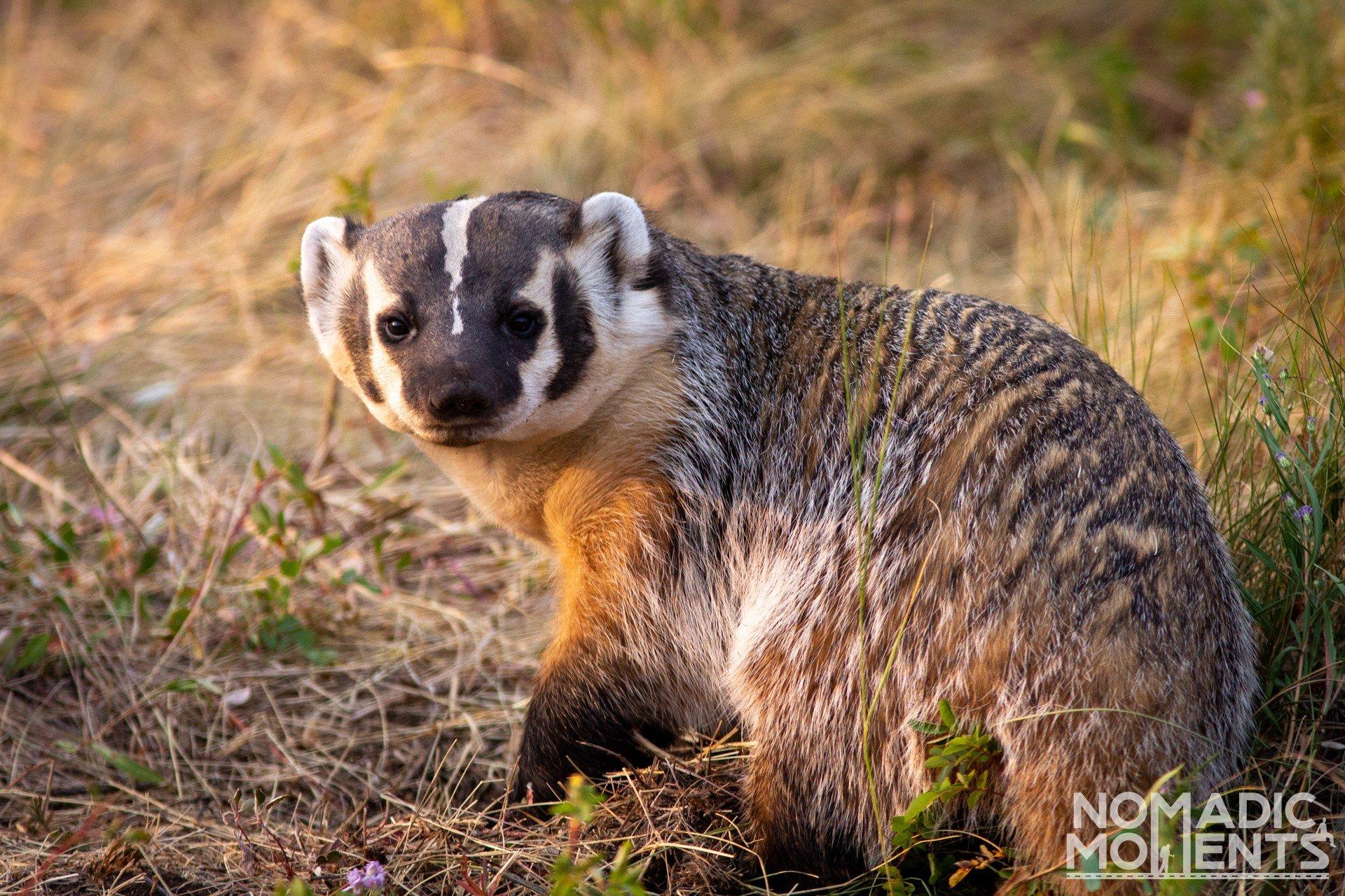 Badger - Highlights of 2020