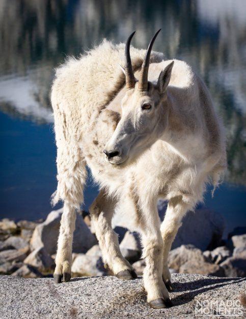 Enchantments Mountain Goat