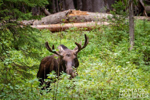 Frist Moose