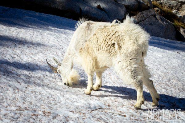 Goat Cooling Off
