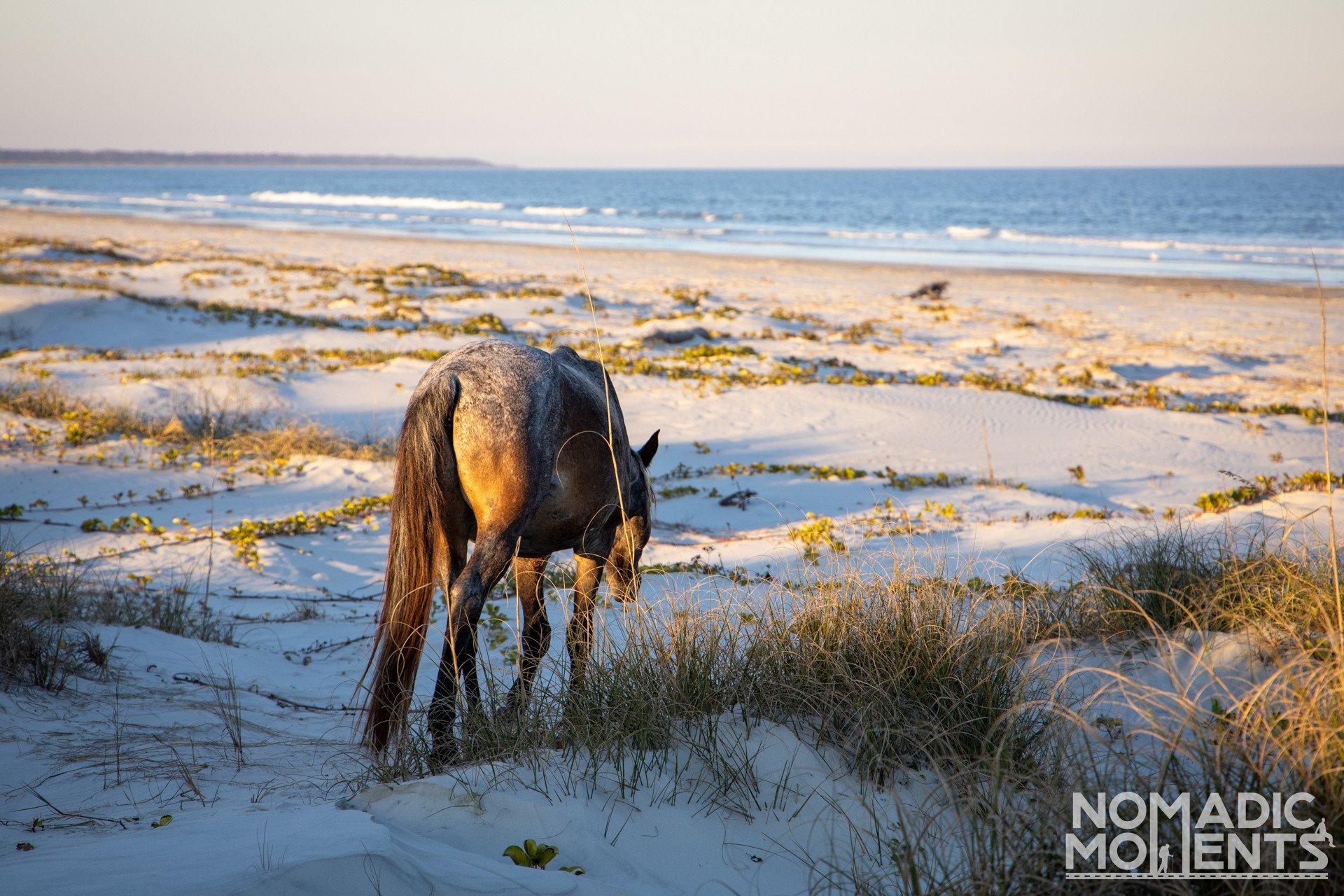 Cumberland Island Beach Wild Horse