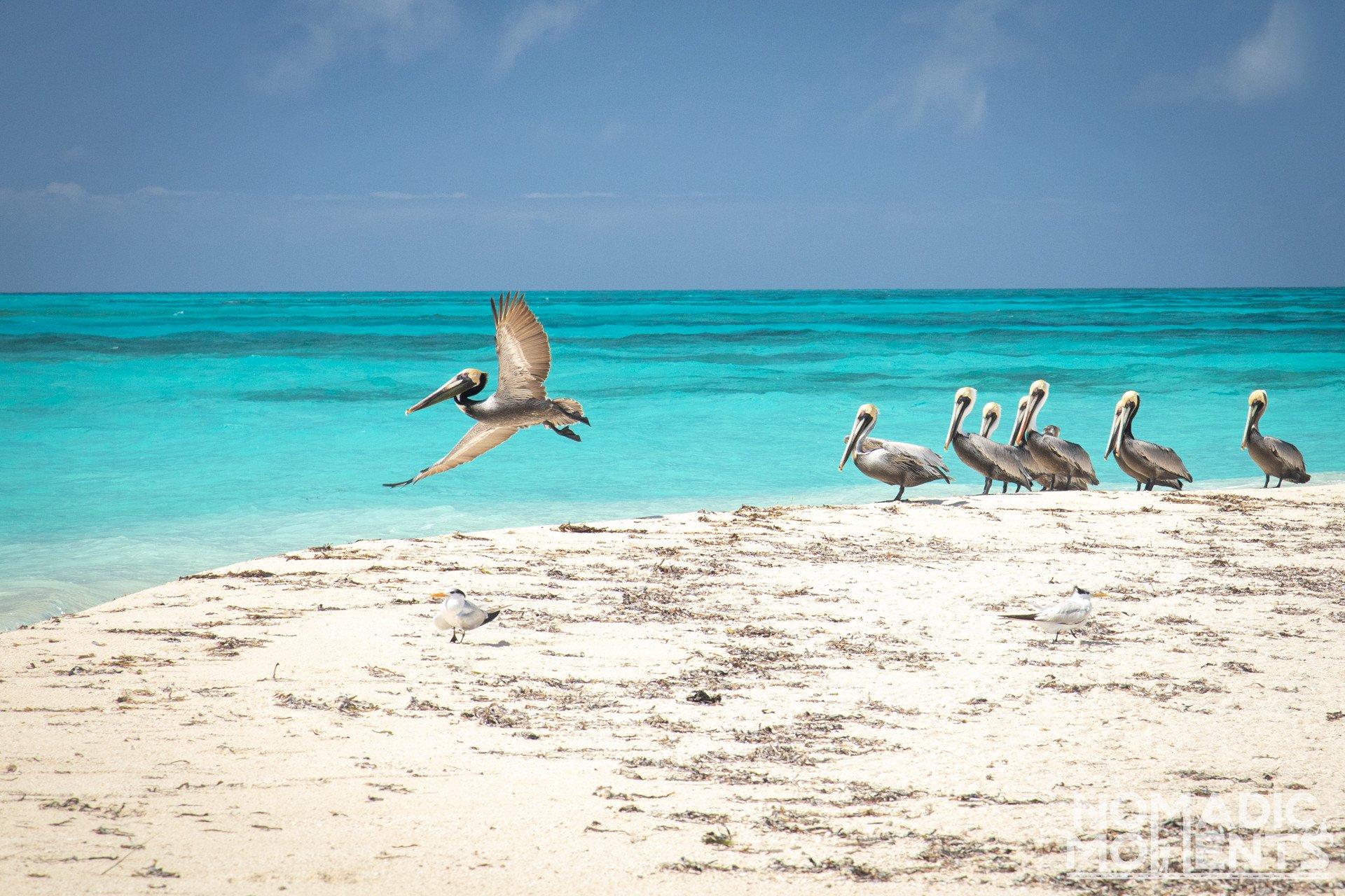 Caribbean Pelicans