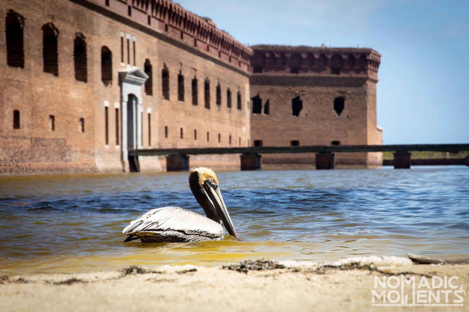 Dry Tortugas Guide - Pelican