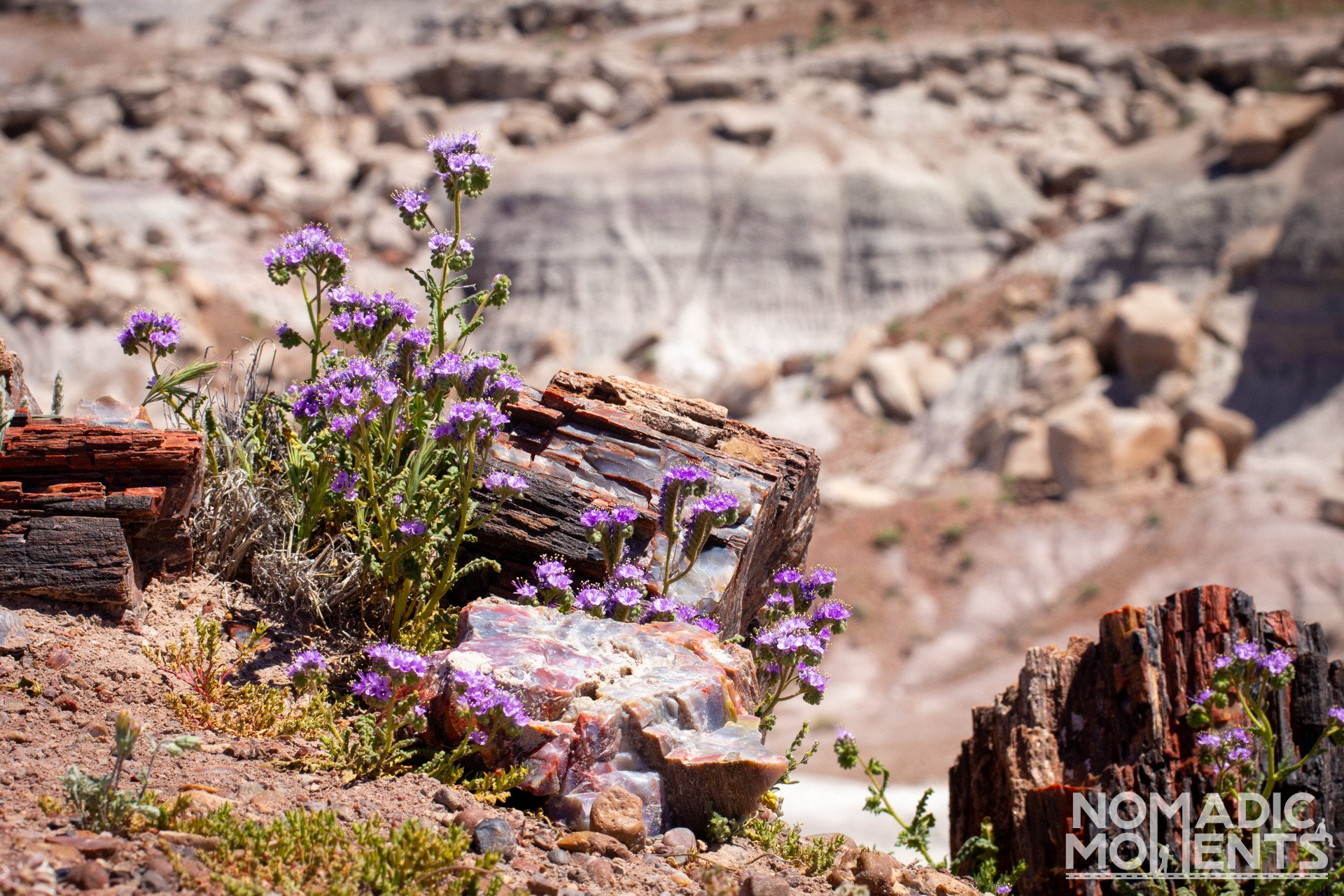 Visiting the Petrified Forest Flowers