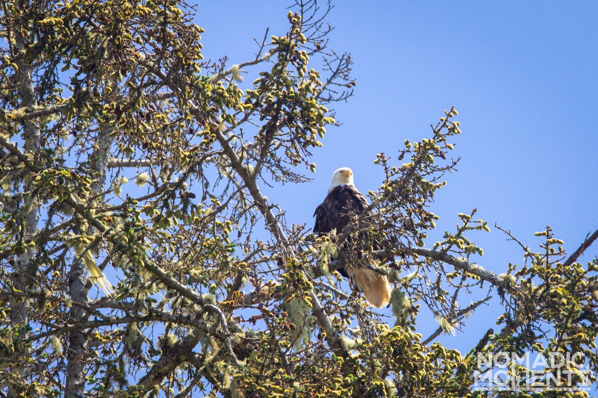 Olympic Bald Eagle