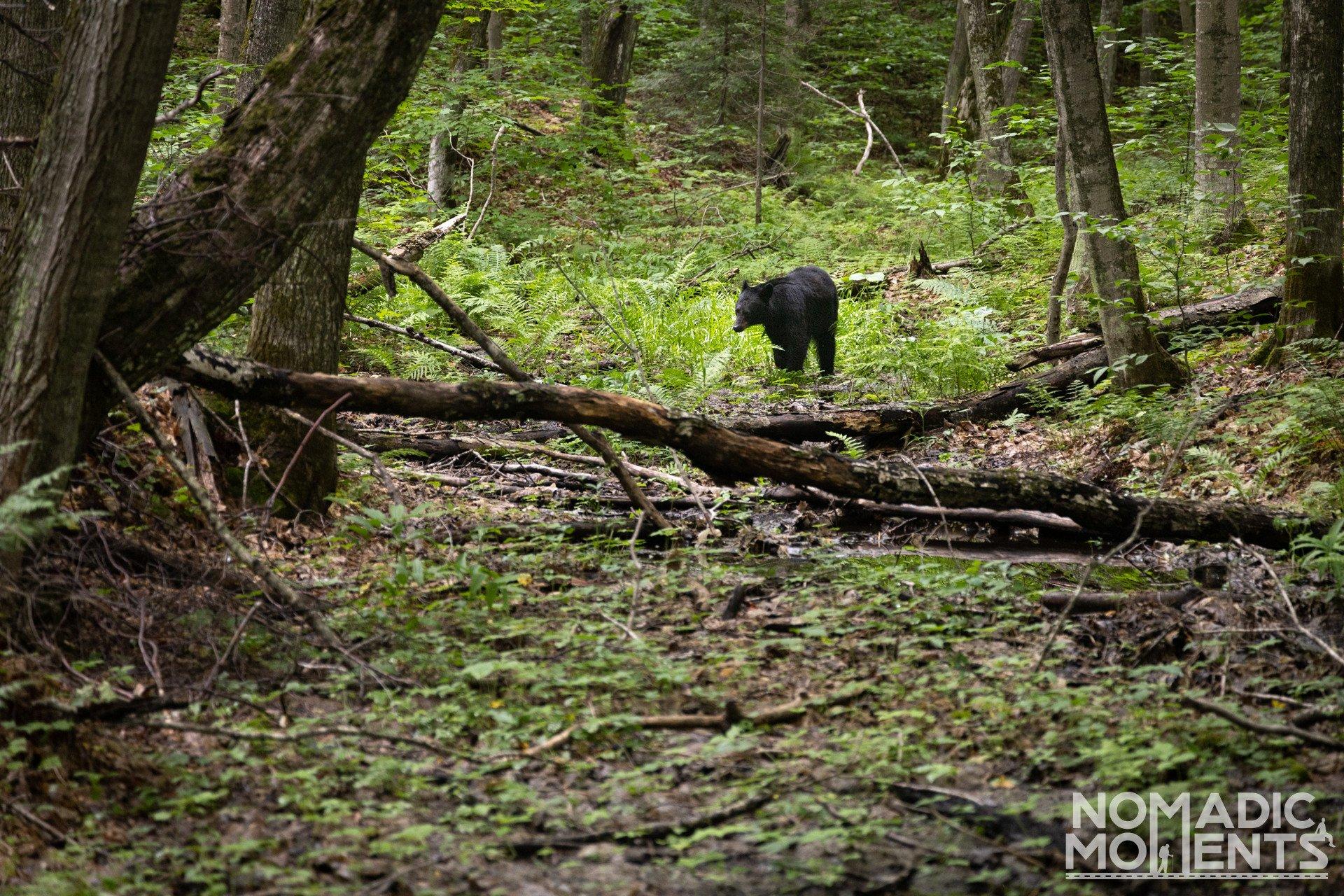 Black Bear at Painted Rocks National Lakeshore