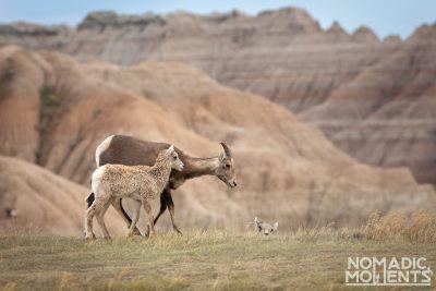 Badlands Bighorn Sheep Family