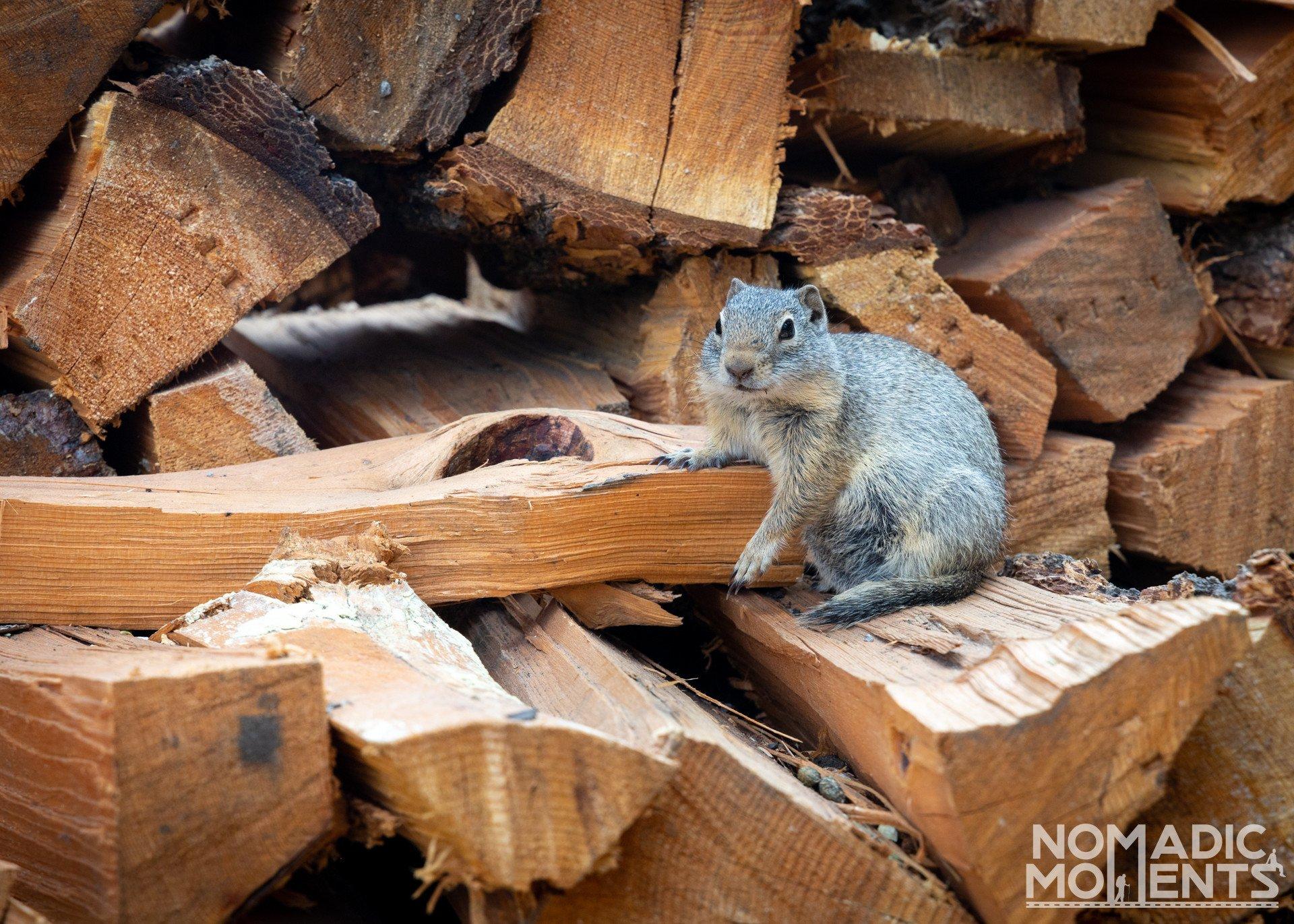 Yancey Ground Squirrel